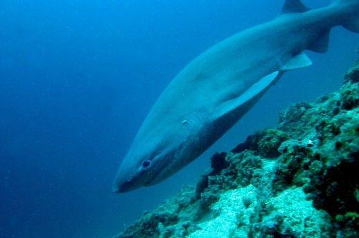 Cápa az Adrián, a Krk-szigetnél, nagyszerű fénykép