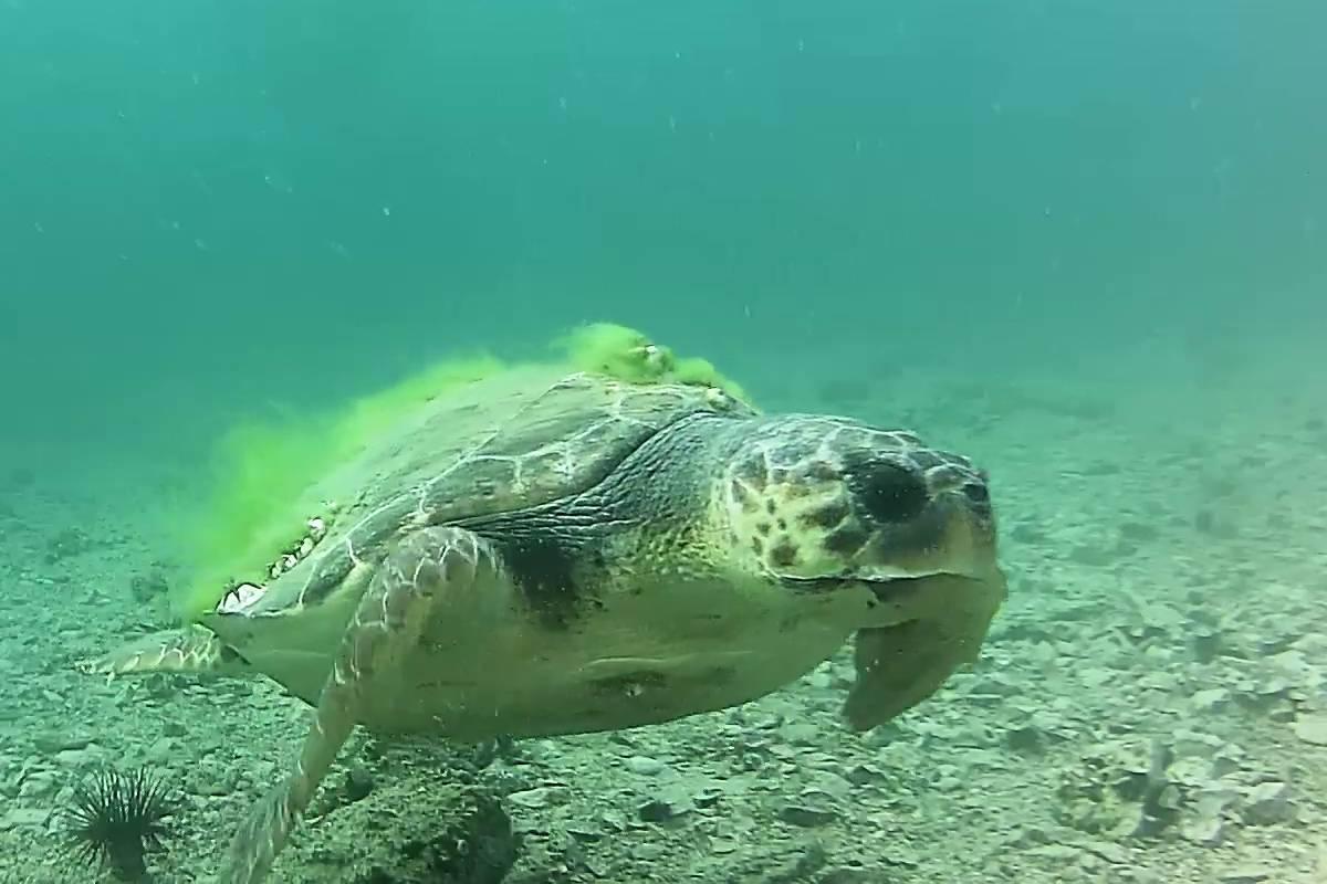 Cuki: ismét feltűnt a teknős az adriai víz alatti webkamerán