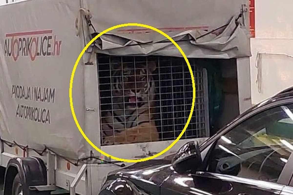 Videó: meglepődtek az utasok, tigris az adriai kompon!